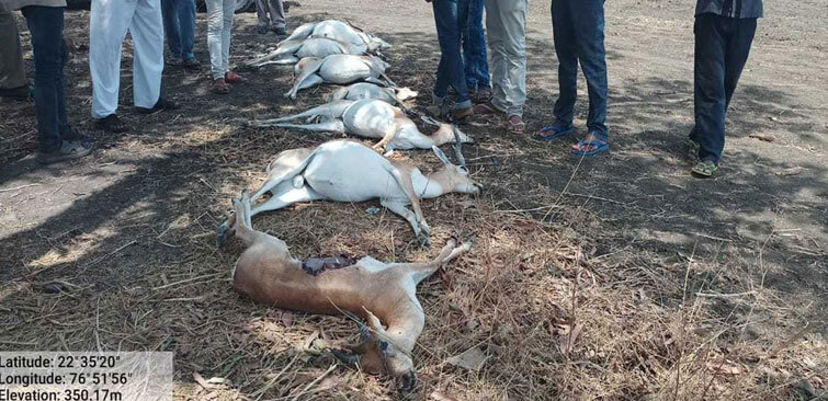 Deers Die Due to Excessive Heat