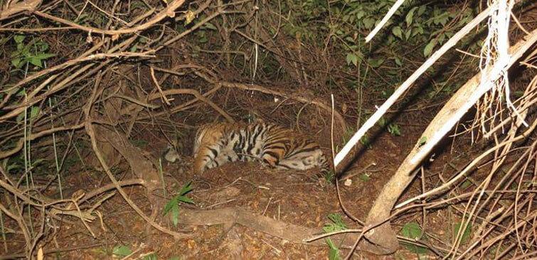 satkosia tiger dead