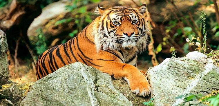 Tiger alone