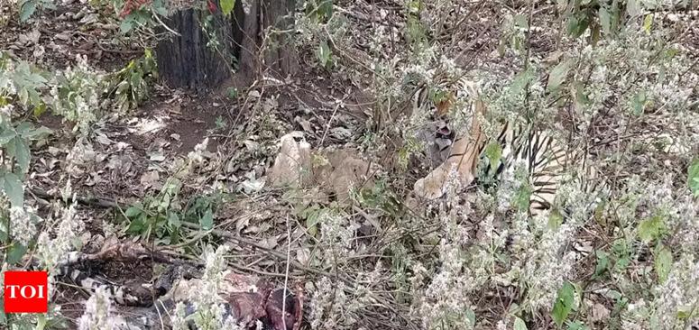 tiger killing and eaten