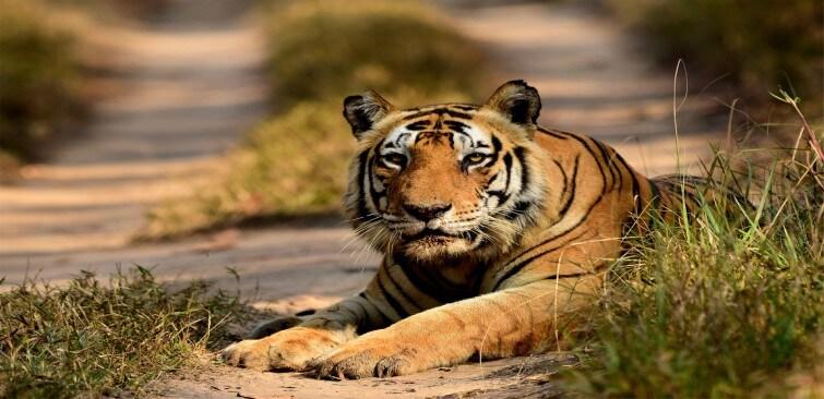 Munna tiger