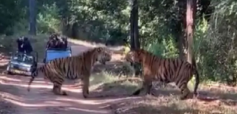 kanha tigers fight