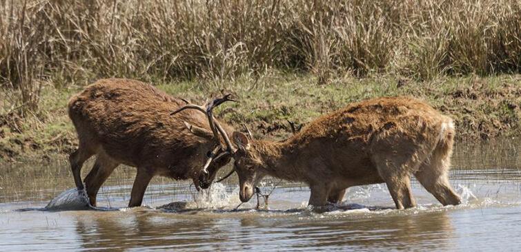 swamp-deer-kanha