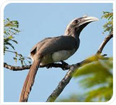 indian gray hornbill at kanha