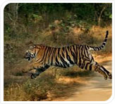 running-tiger