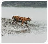 tiger in sunderban