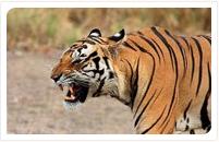 kanha national park tiger